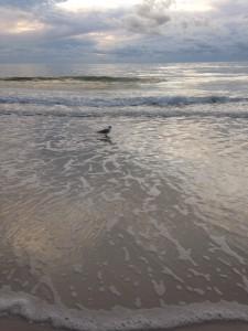 Anna Maria Island beach birds