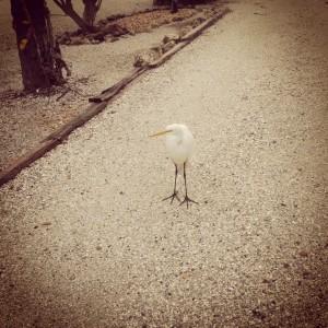 Anna Maria egret
