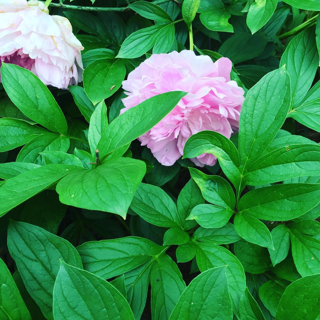 Pink peonies! Aren't they divine? Spotted today at @BirminghamBotanicalGarden.